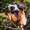 lemur_thumb