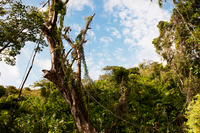 Palisanderbaum im regenwald  Palisanderbaum Im Regenwald | tentfox.com